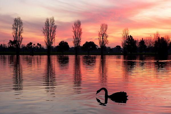 Black Swans on Albert Park Lake 2. Looking west