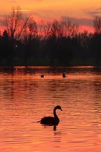 Black Swans on Albert Park Lake 8. Looking west