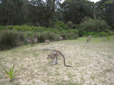 Pebbly Beach Kangaroos
