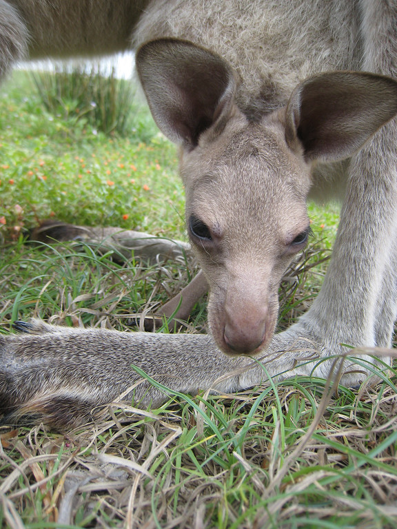 baby kangaroo in a pouch