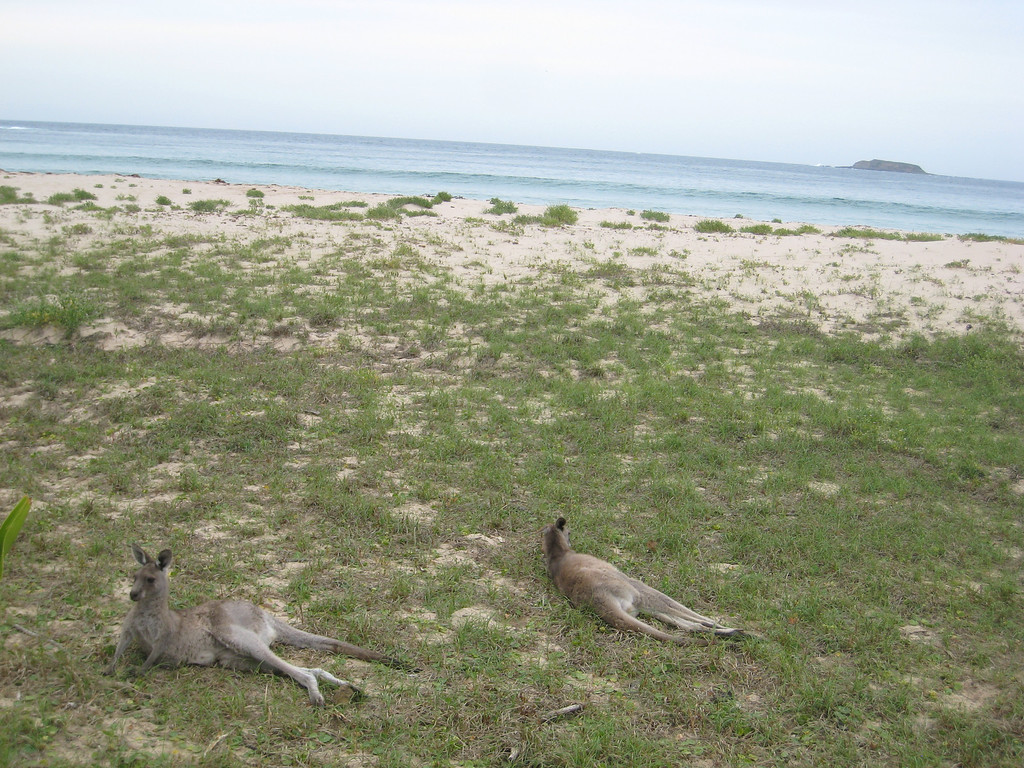 visiting kangaroos on bateman's bay