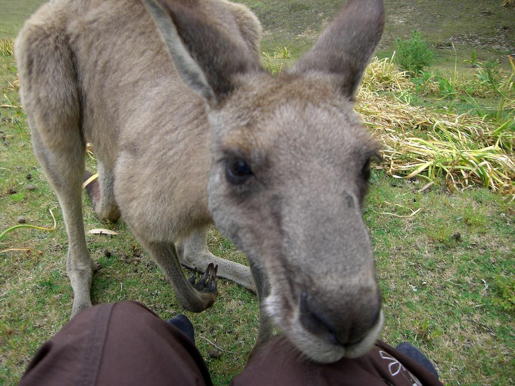 kangaroo sighting on pebbly beach