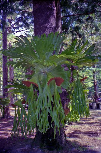 Giant Staghorn fern at Central Station on Fraser Island.