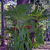 Giant Staghorn fern at Central Station on Fraser Island.