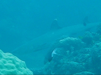 Reef sharks video