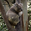 Koala at the wildlife park.
