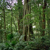 Minnamurra Rainforest.