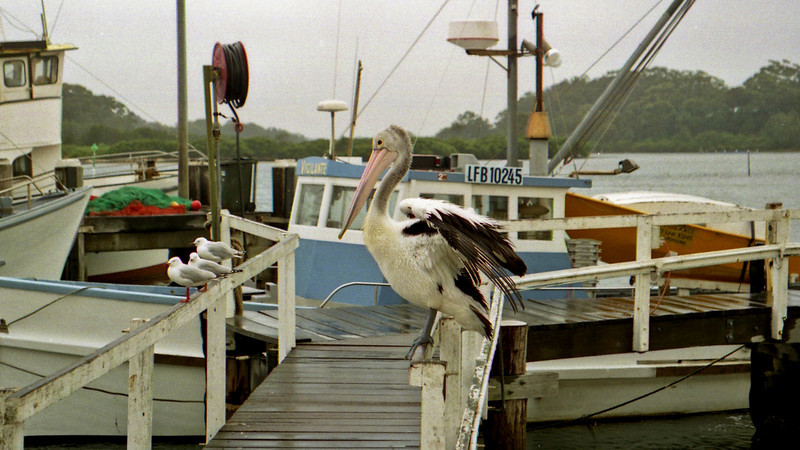 Pelican at Greenwell Point near Shoalhaven and Nowra, south of Sydney.