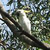 Sulfur-Crested Cockatoo in Australia
