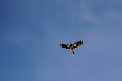 Magpie-lark (Juvenile)