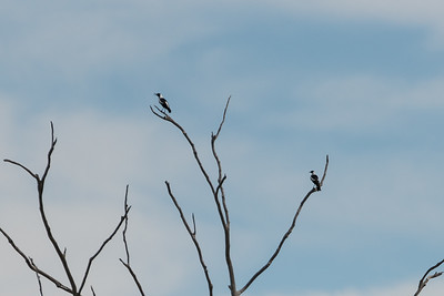 Australian Magpies - 'Mexican standoff'!