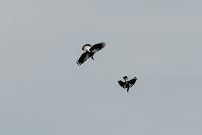 Australian Magpies in a fight