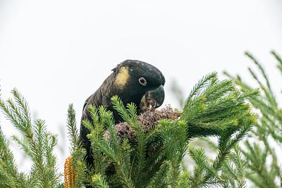 Yellow Cheeked Black Cockatoo