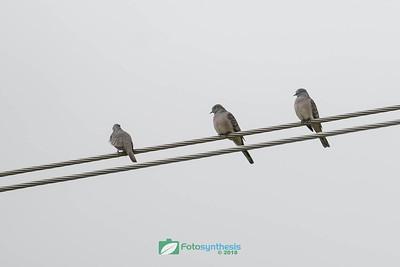 Peaceful Dove(s)