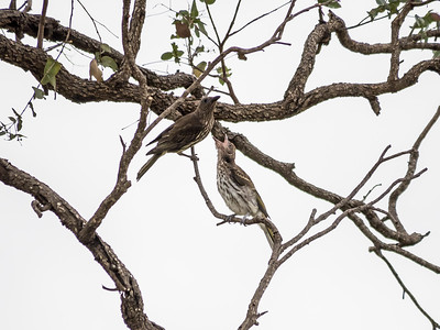 Olive-backed Oriole (Female & Juvenile)