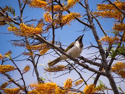 Blue-faced Honeyeater (Juvenile)