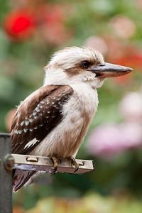 Laughing Kookaburra (Juvenile)