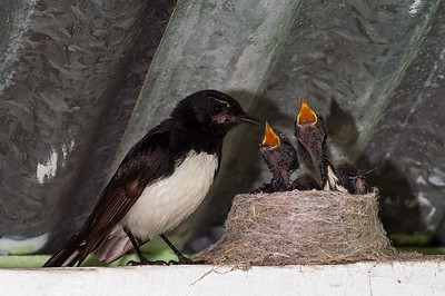 Willy Wagtail and chicks