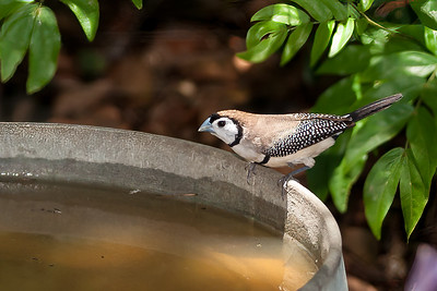 Double-Barred Finch, SE Qld