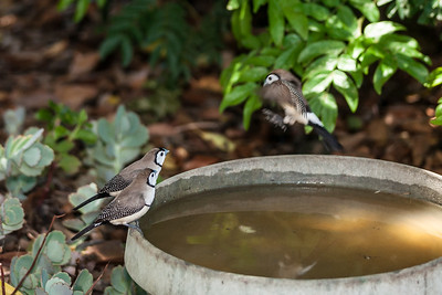 Double-Barred Finches, SE Qld