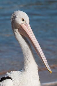 Australasian Pelican