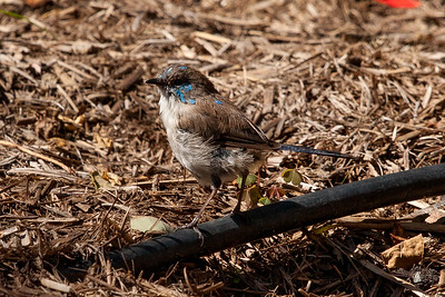 Young male Superb Fairy Wren