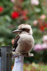 Young Kookaburra Our garden, Sydney