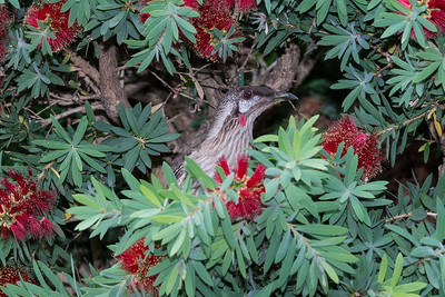 Red cheeked wattlebird