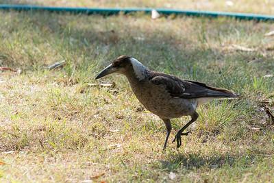 Young Magpie Burranvale, SE Qld