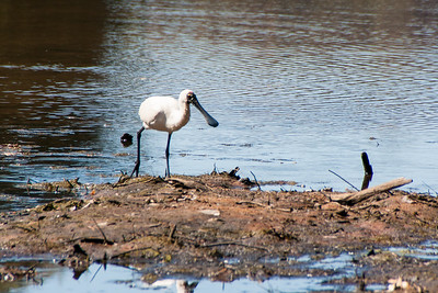Black Spoonbill Windjara Gorge, WA