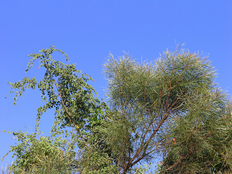 Tree Hakea & Jigal foliage