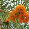 Manowan or Woollybutt (Eucalyptus miniata)
