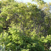 Stand of Jigal trees dressed in new foliage