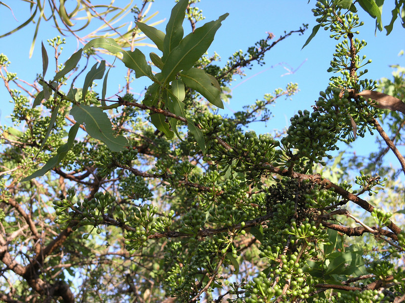 Cable Beach Ghost Gum ((Eucalyptus) Corymbia paractia)
