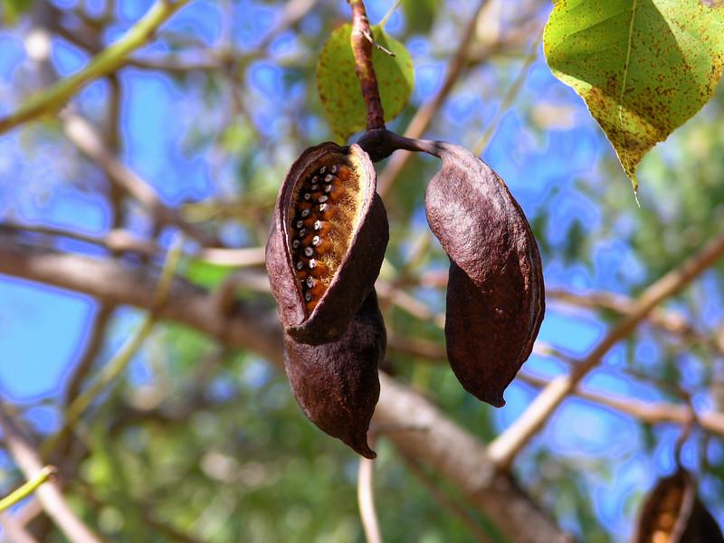 Northern Kurrajong (Brachychiton diversifolia)