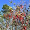Jigal Tree or Kimberley Bauhinia (Lysiphyllum cunninghamii)