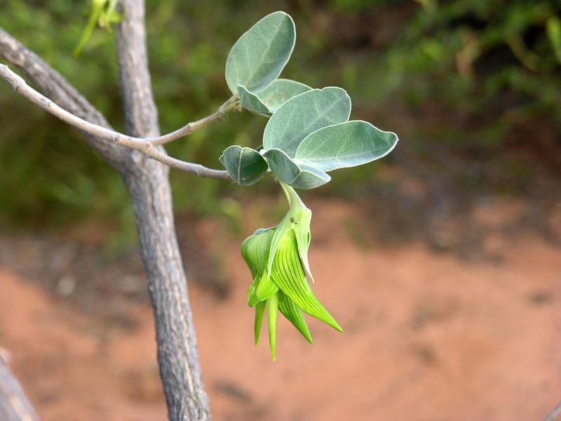 Parrot Pea or Birdflower (Crotolaria cunninghamii)