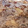 Dampier's Bloodwood (Eucalyptus (Corymbia) dampieri)