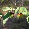 Mistletoe (Ameyema benthamii)