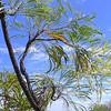 Maangga or Caustic Tree (Grevillea pyramidalis)