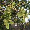 Gubinge (Terminalia fernandiana)