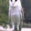 Australian Barn Owl.