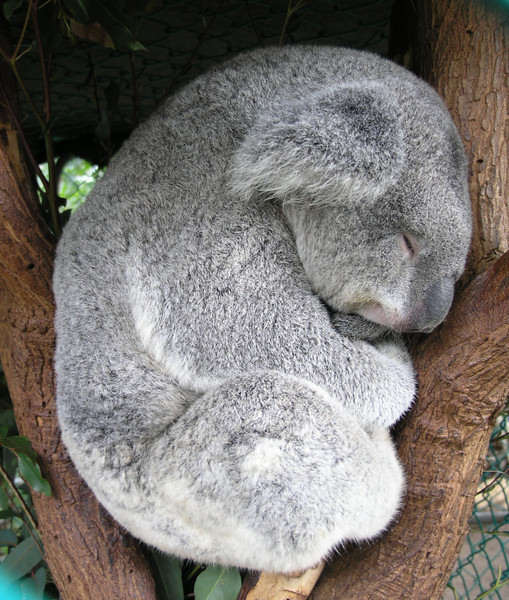 Classic Koala.
