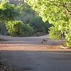 Morning kangaroo at Habitat