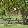 Ibis and Wallabies enjoying the golf course. These were the ones that stayed - at least a dozen wallabies have already fled.