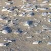 Cuttlefish graveyard