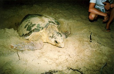 Turtle at Mon Repos 1992