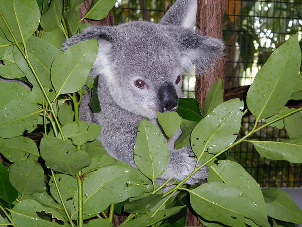 Koala at the Cairns Tropical Zoo