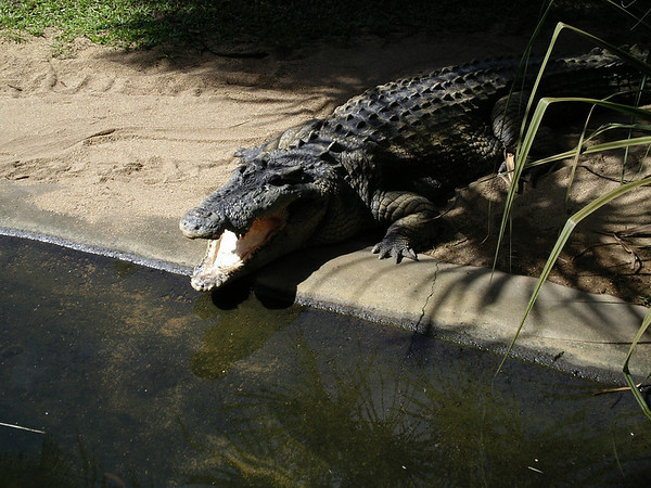 Crocodile at the Cairns Tropical Zoo