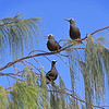 Black Noddies - Green Island, Great Barrier Reef